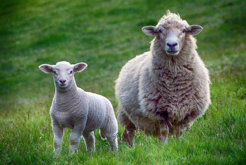 sheep wool carpeting